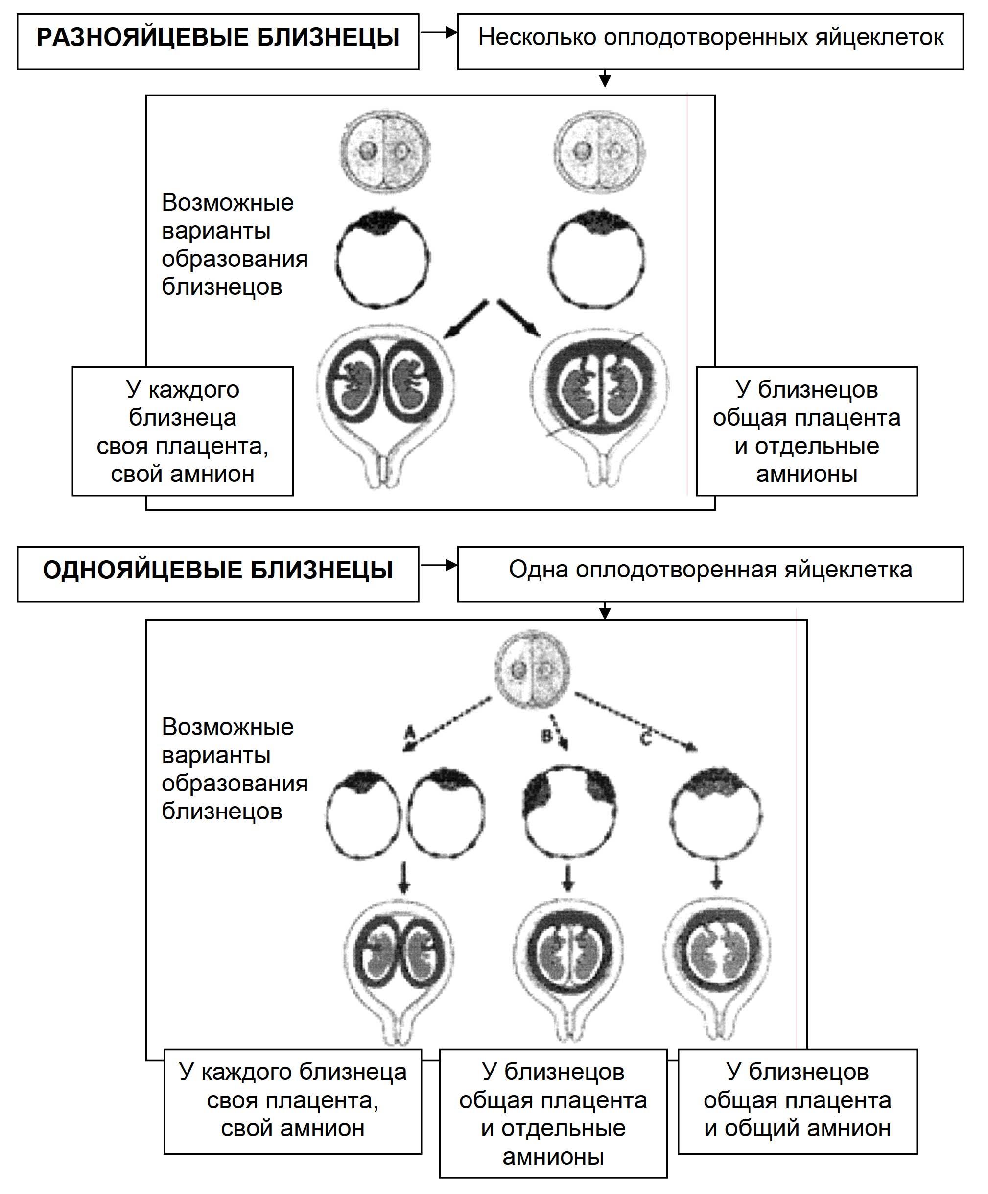 Рис. 1. Образование разнояйцевых и однояйцевых близнецов