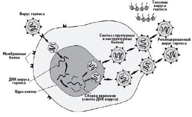 Патогенез герпетической инфекции