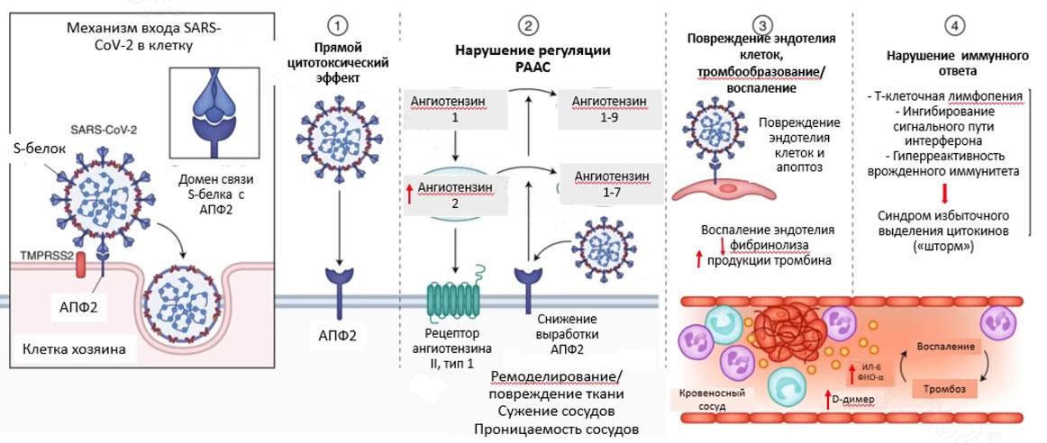 Поражающие эффекты вируса - понимание тактики ведения