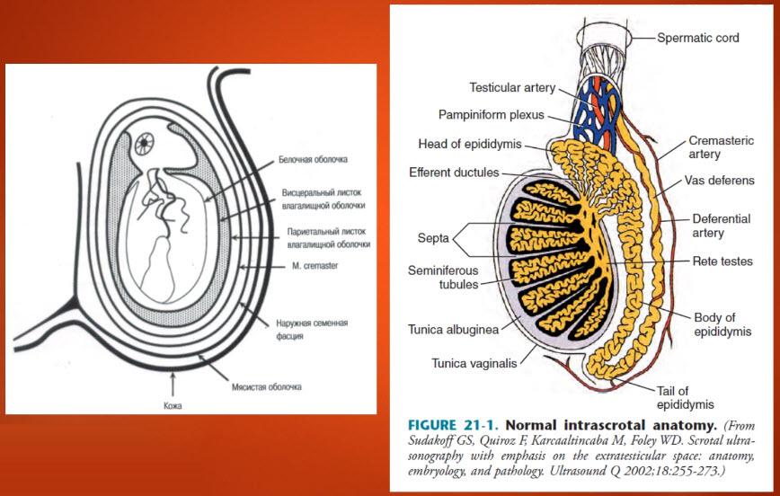 Нормальная анатомия яичка
