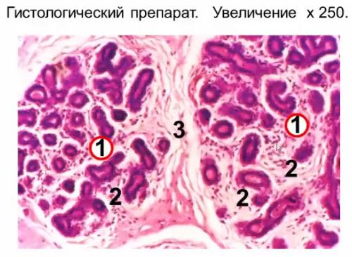 Интактная молочная железа женщины репродуктивного возраста