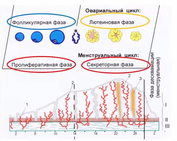 Фазы овариального цикла