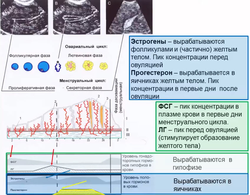 Гормональная регуляция овариально-менструального цикла