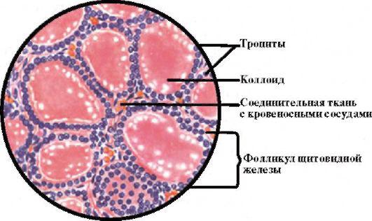 Рис. 3.2. Гистологическое строение щитовидной железы