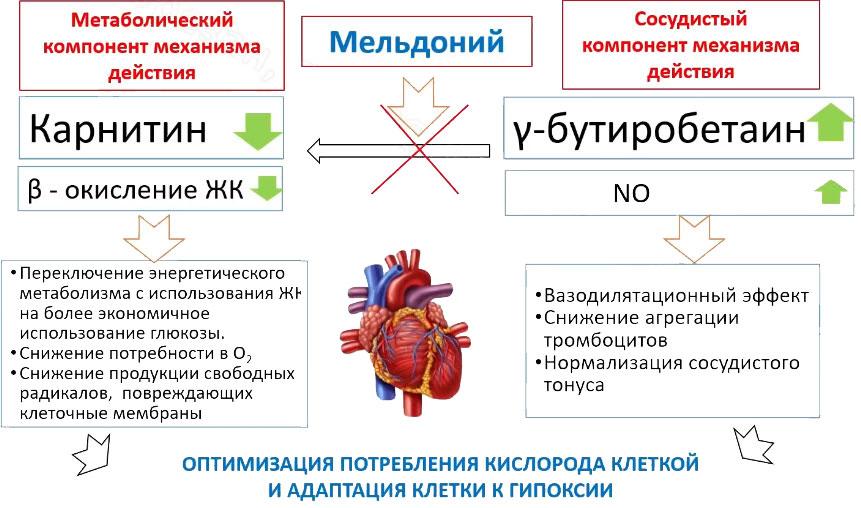 Двойной механизм действия мельдония\милдроната