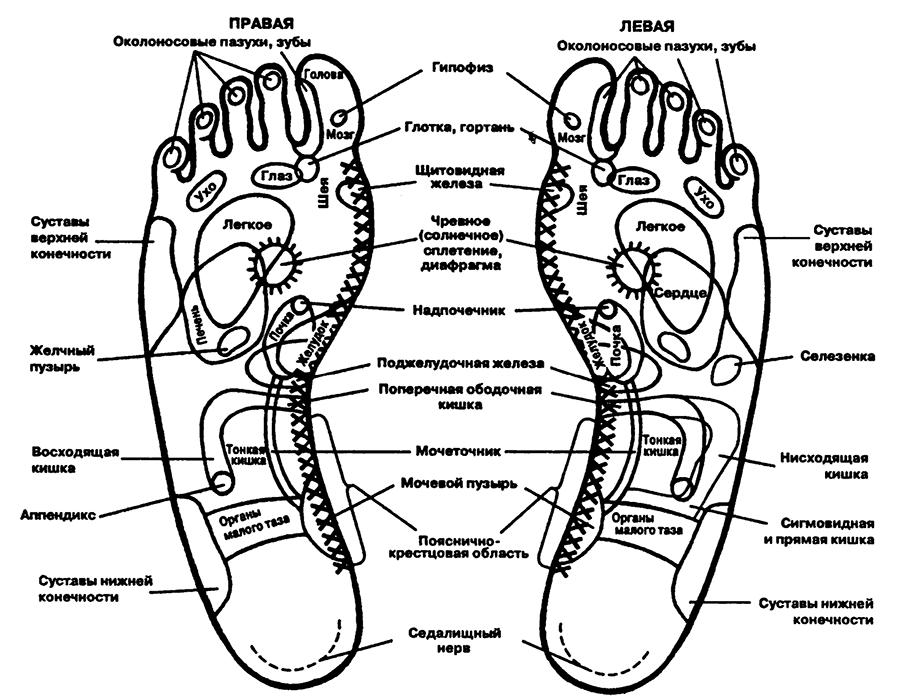 Рис. 27. Зоны проекции органов на подошвы ног
