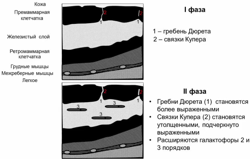 Схема эхоструктуры молочной железы в I и во II фазы цикла
