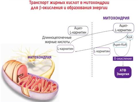 Левокарнитин - эффективное метаболическое средство