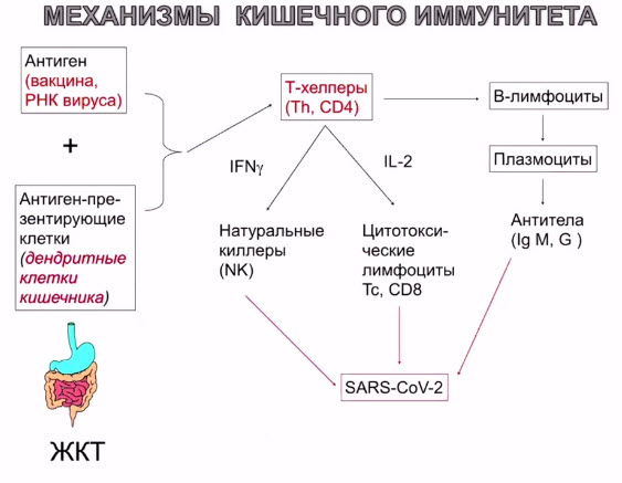 Механизмы кишечного иммунитета