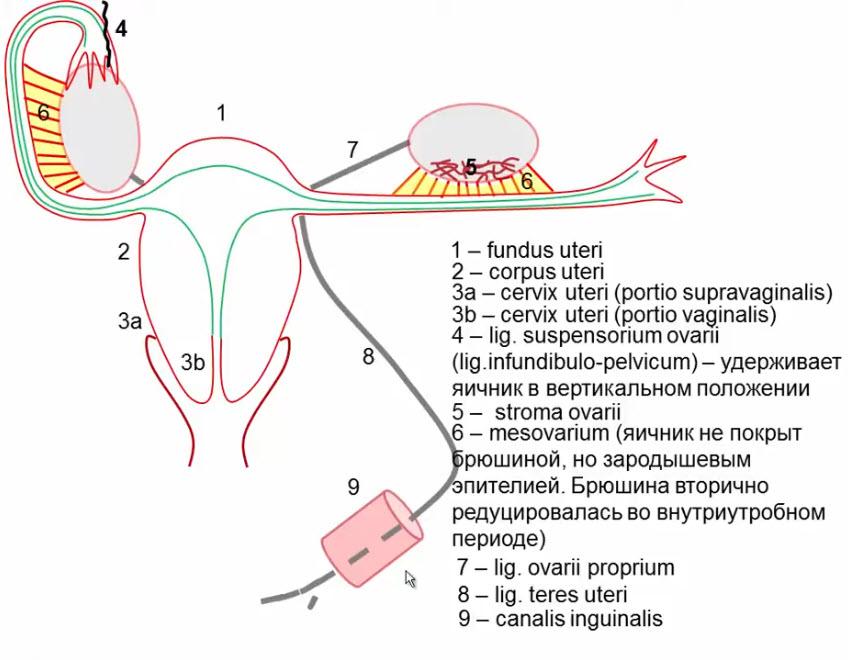 Внутренние женские половые органы (вид сзади)