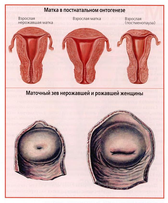 Матка в постнатальном онтогенезе
