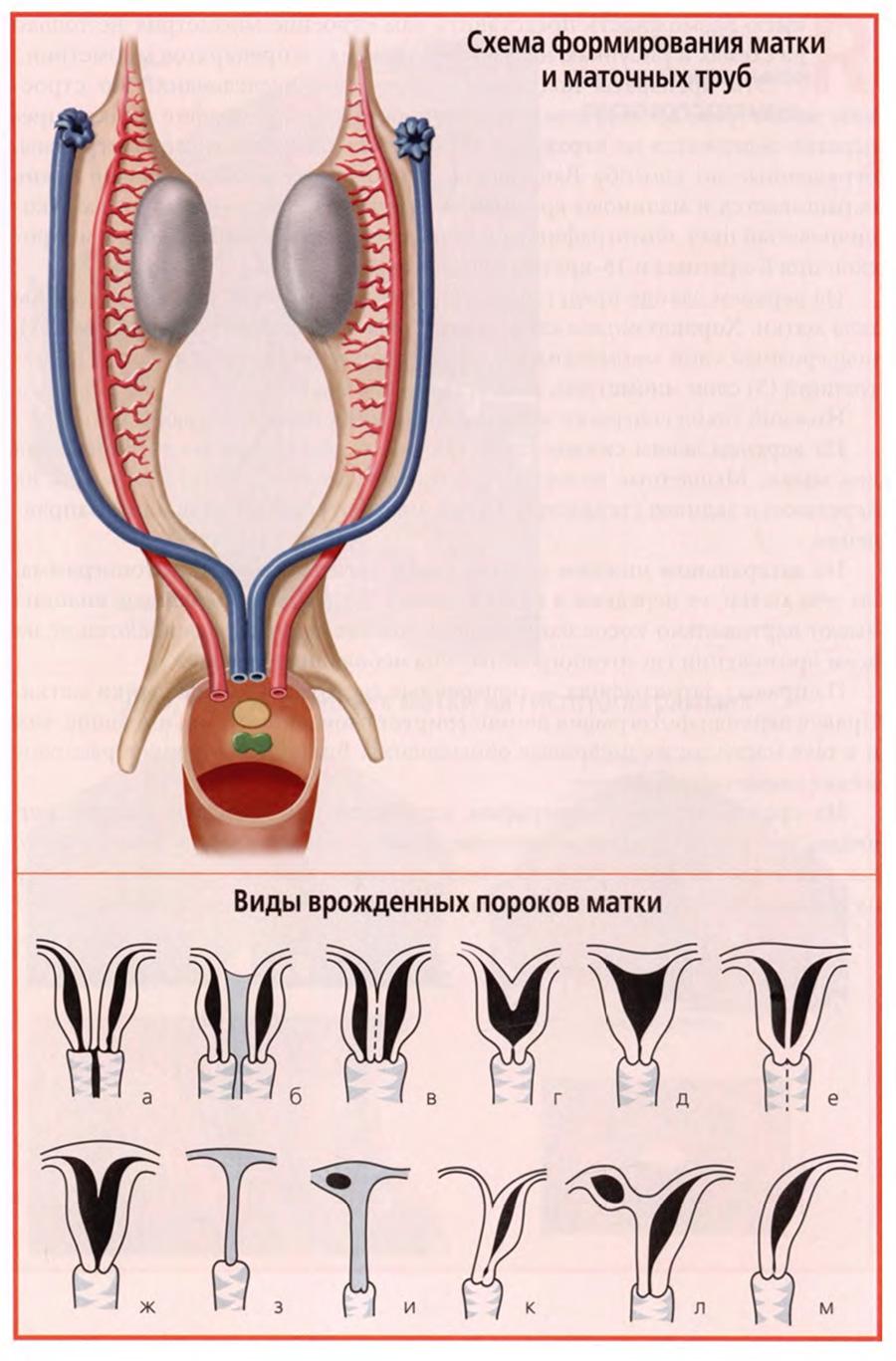 Схема формирования матки и маточных труб