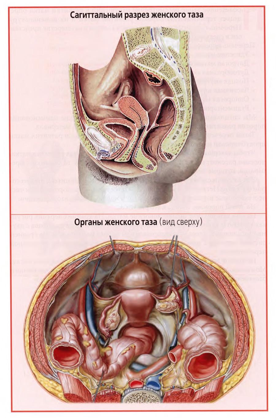 Сагиттальный разрез женского таза