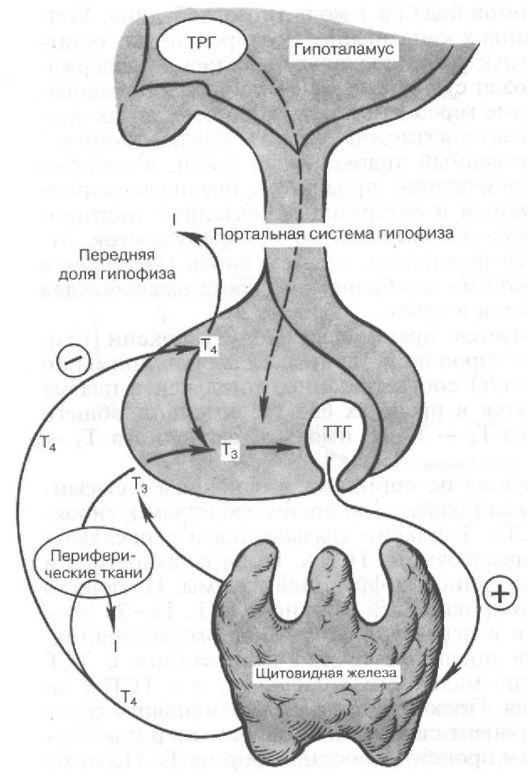 Рис. 3.4. Регуляция секреции тиреоидных гормонов