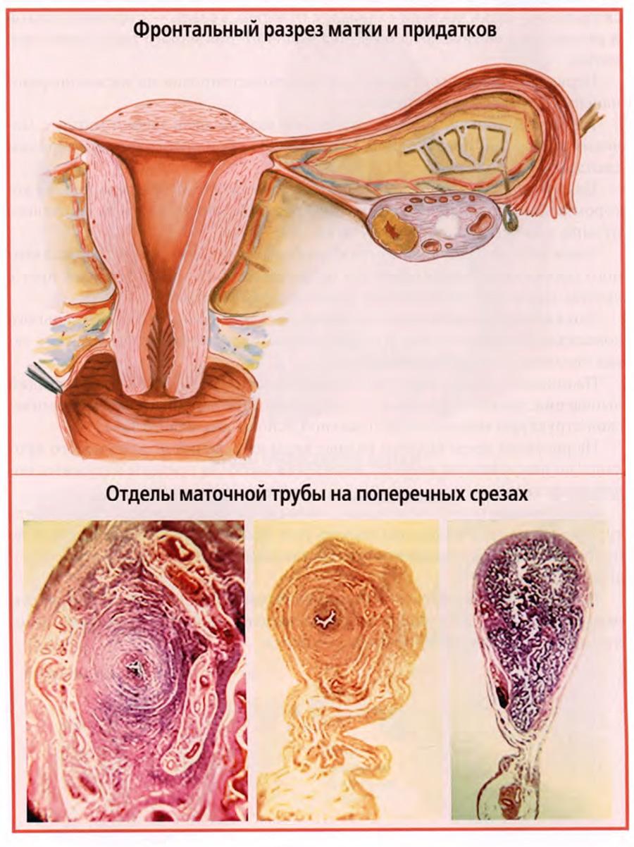 Клиническая анатомия маточных труб и яичников