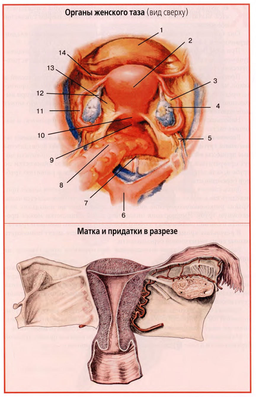 Органы женского таза (вид сверху)