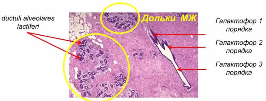 Интактная молочная железа вне периода лактации (гистологический препарат)
