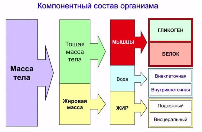 Компонентный состав организма